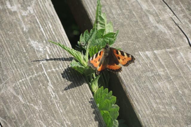 Zwischen Brettern einer Bank kommt kleine, grüne Pfefferminzblätter hervor. Auf einem Blättchen sitzt ein Schmetterling.