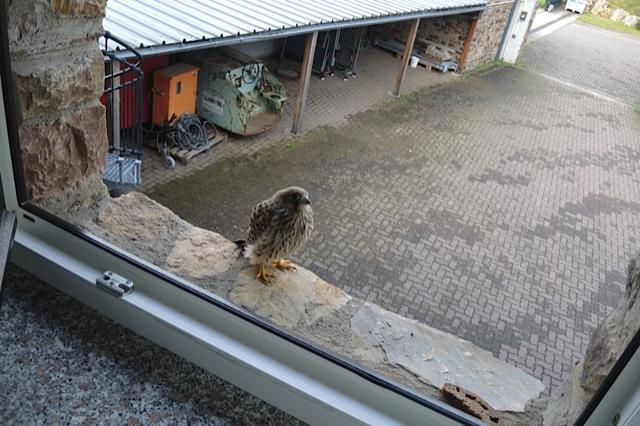 junger Falke, unschlüssig